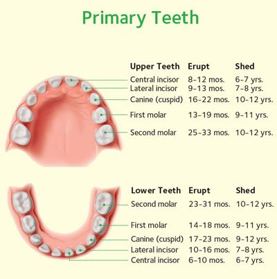 A diagram of a baby's primary teeth