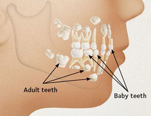 A chart showing the transition between baby to adult teeth