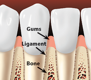 Gums, Ligaments, and bone drawing
